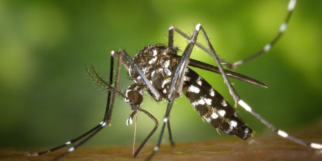 "Alert for the super ""Tiger Mosquito"", capable of transmitting 22 types of viruses. America, Argentina, Asia, Climate Change, Coronavirus, COVID, Egypt, Europe, Epidemic, Fever, France, Global warming, Italy, Greece, Pandemic, Spain, Zika, World, Virus, Aedes albopictus, Mosquito, Insect, Aedes aegypti, Dengue,"